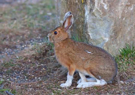 Snowshoe hare (Lepus americanus) in autumn