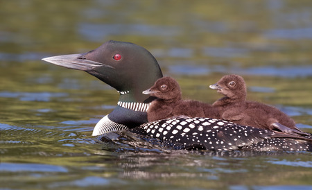 Common Loon (Gavia immer) swimming with two chicks on her back