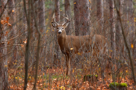 White-tailed deer buck in rut in the forest