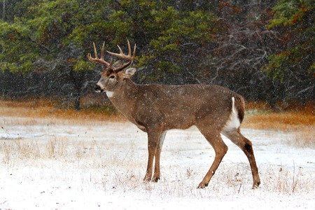White-tailed deer buck on a winter day in the forest