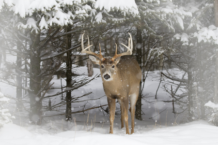 White-tailed deer buck coming out of the forest in the winter snow in Canada