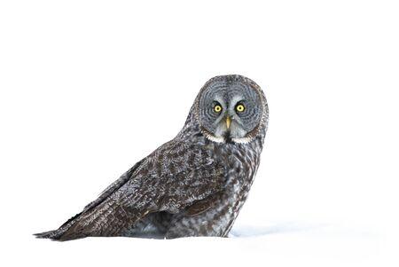 Photo pour Great grey owl sitting in an open snowy field in winter in Canada - image libre de droit