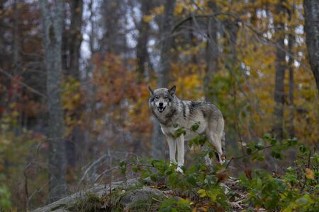Photo pour Timber wolf or Grey Wolf Canis lupus hunting in the forest in autumn in Canada - image libre de droit
