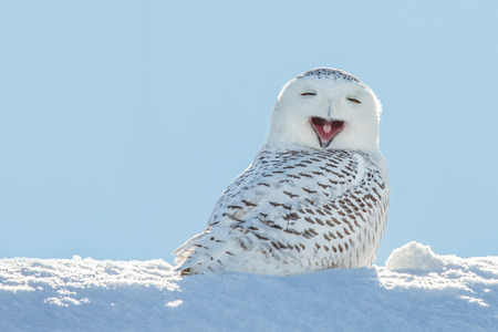 Snowy owl yawning, which makes it look like it