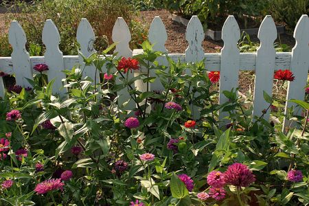 A pretty zinnia garden in front of a white picket fence.