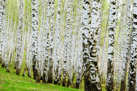 Artistic Birch Trees