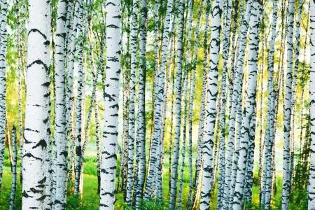 Sunlit Birch Forest