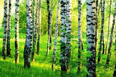 Green Summer Birch Forest  Wall Mural