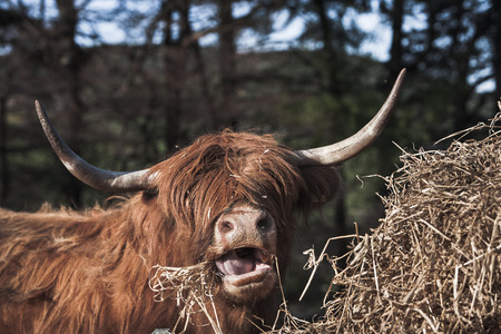 Highland Cow chewing hay in Scotland,