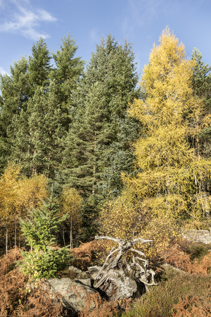 Autumn Trees at Dulnain Bridge in the Cairngorms National Park of Scotland.