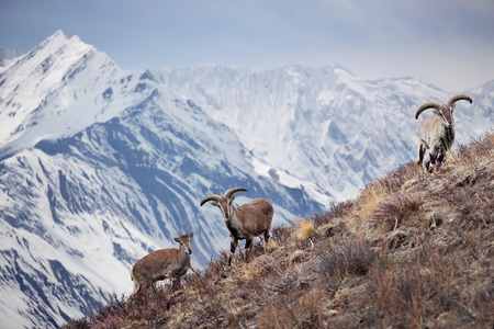 Wild blue sheep are standing on a hill next to Himalayas. Nepal, ACAP, Manang region, 4,550 m