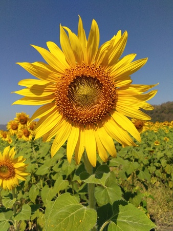 Photo pour Sunflower in field of Thailand. - image libre de droit
