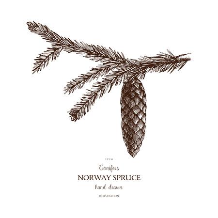 Illustration pour Vintage Fir illustration. Hand drawn Norway Spruce sketch on white background. Vector conifer tree. - image libre de droit