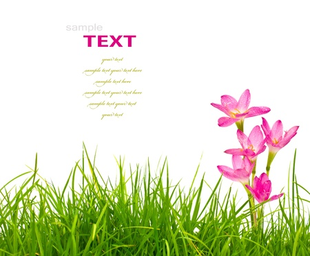 Beautiful pink flowers and fresh spring green grass isolated on white background.