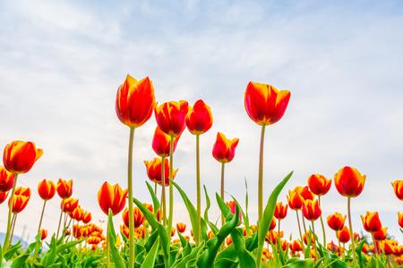 Photo pour Beautiful bouquet of tulips in spring season - image libre de droit