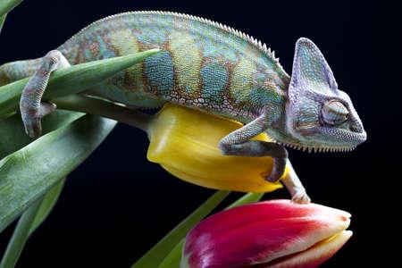 Photo pour Tulip and Chameleon - image libre de droit