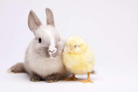 Rabbit on chick