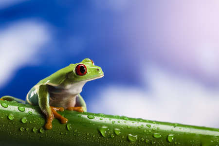 Frog, small animal red eyed