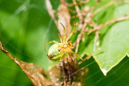 A Small Green Spider Cucumber Green Spider Araniella