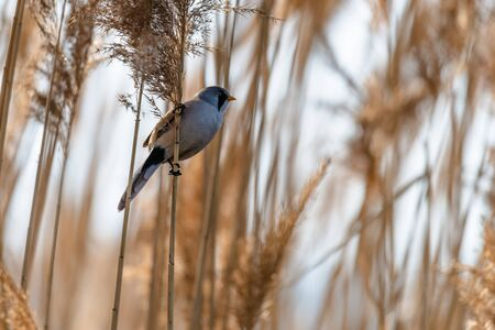 Photo pour Little rare bird named bearded reedling (Panurus biarmicus) sitting on a reed by the pond. Close-up view of bird in natural habitat. - image libre de droit