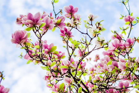 magnolia, magnolia soulangiana  or soulangeana wildly blossoming during spring time in Europe