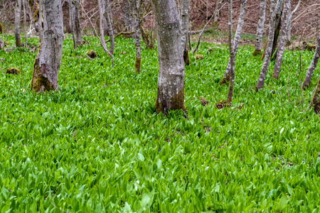 Wild garlic ramson field or bear garlic growing in forest in spring