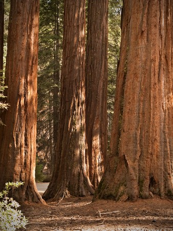 Yosemite National Park - Mariposa Grove Redwoods