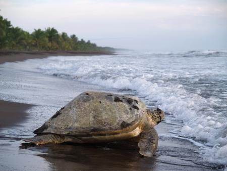 Photo pour Sea turtle diggin in the sand to put her eggs on August 2010, in Tortuguero National Park, Costa Rica - image libre de droit