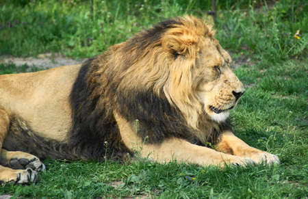 Lion (Panthera leo) is a mammal of the family cat (Felidae) and one of four big cats of the genus Panthera.