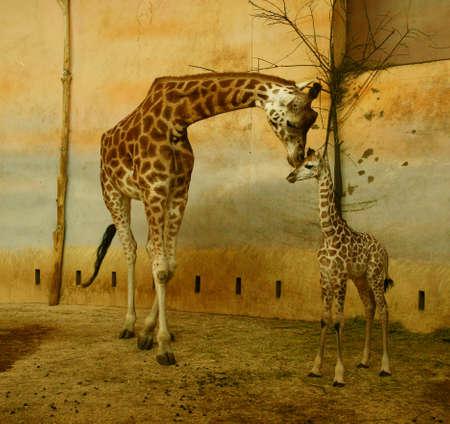 Artistic Giraffes