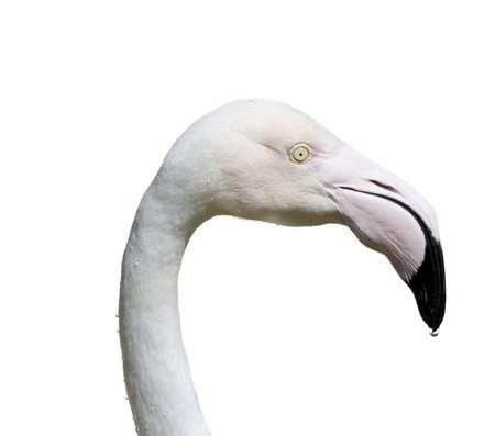the head of a bird flamingo, isolated