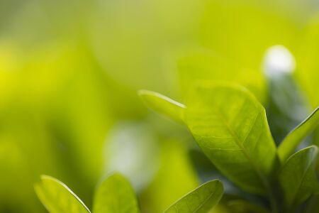 Photo pour Tree leaf background and texture, solf focus with macro lense. - image libre de droit