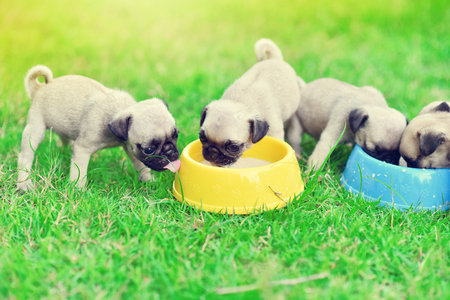 Foto de Cute puppies Pug scramble to eat goat milk in dog bowl - Imagen libre de derechos