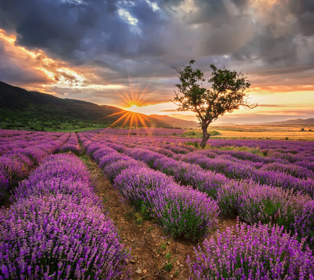 Photo for Stunning landscape with lavender field at sunrise - Royalty Free Image