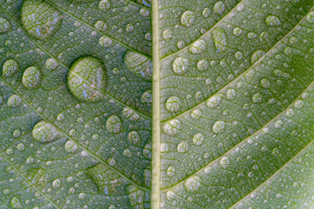 Photo pour Water drop on green leaf, abstract macro wet foliage texture, pattern and background - image libre de droit