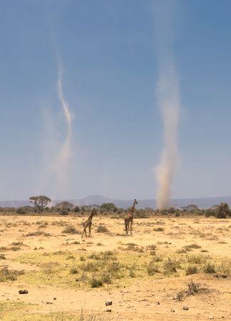 giraffes and sandstorms in amboseli national park, kenya