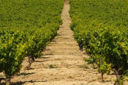 Vineyards in Langeuedoc, France
