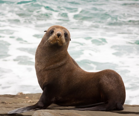 A very cute young New Zealand fur seal  Arctocephalus forsteri