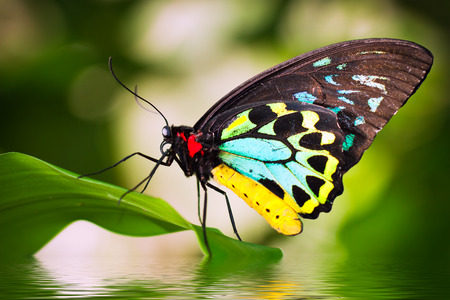 Foto de A beautiful male Cairns Birdwing Butterfly (Ornithoptera euphorion) sitting on a leaf with refelction in the water. - Imagen libre de derechos