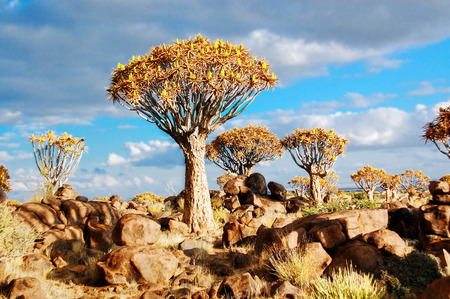 Landscape of Namibia, quiver tree  kokerboom  forest