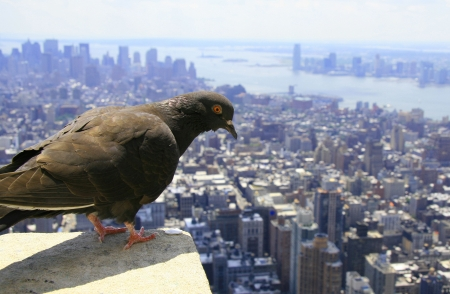 Pigeon watching down on lower Manhattan, NYC
