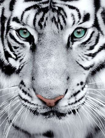 Close-up of a White Tigers face