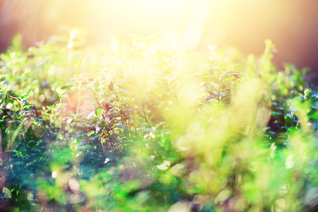 Green bokeh in morning light and sun leaks. Blurred abstract background. Summer concept. Bokeh defocused. Banner. Wild nature