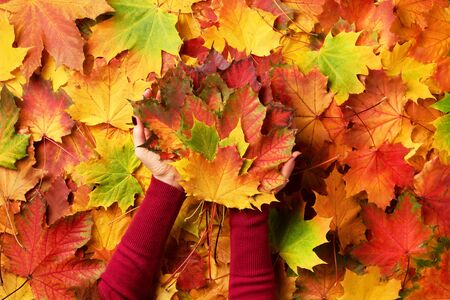 Photo pour Bright autumn background, light bokeh. Sunny day, warm weather. Bunch of colorful maple leaves in female hands with red nails design. Top view. Banner. - image libre de droit