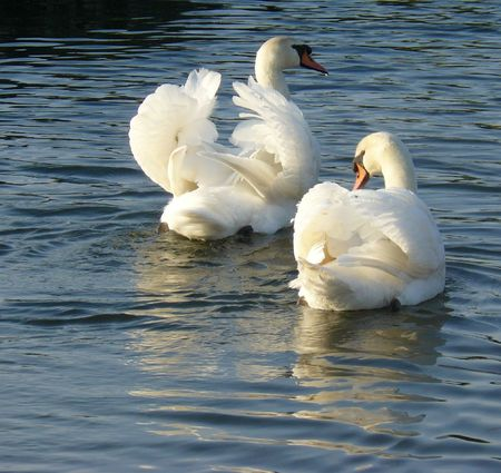 Couple de cygne de dos sur l'eau