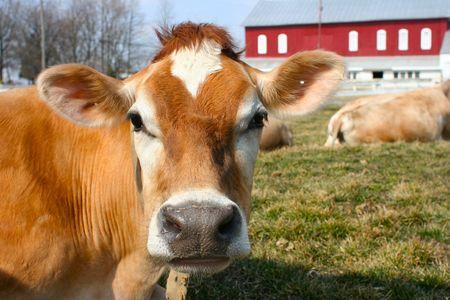 Curious jersey cow on a farm