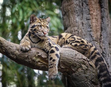Photo pour Clouded Leopard in tree - image libre de droit
