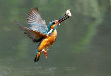 Kingfisher foraging