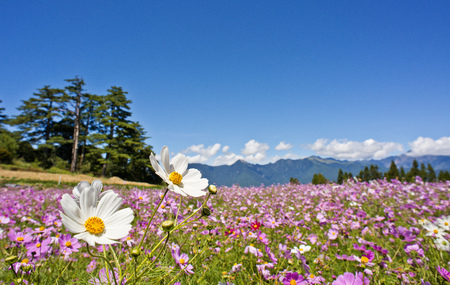 Photo for Beautiful flowers Field in Taiwan - Royalty Free Image