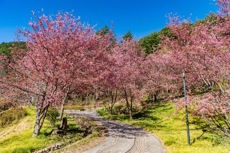 Photo for Cherry Blossoms in Wuling Farm, Taichung, Taiwan - Royalty Free Image
